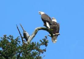 While on a D&D Fishing Charter, your wildlife sightings may include majestic eagles like these.